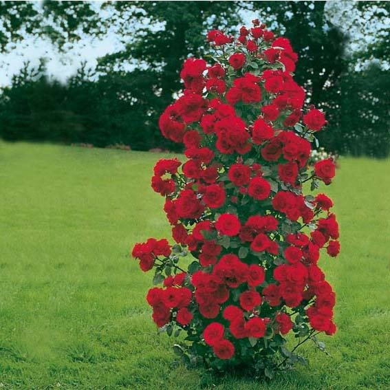 Rose Shalom®, im 3-Liter-Topf