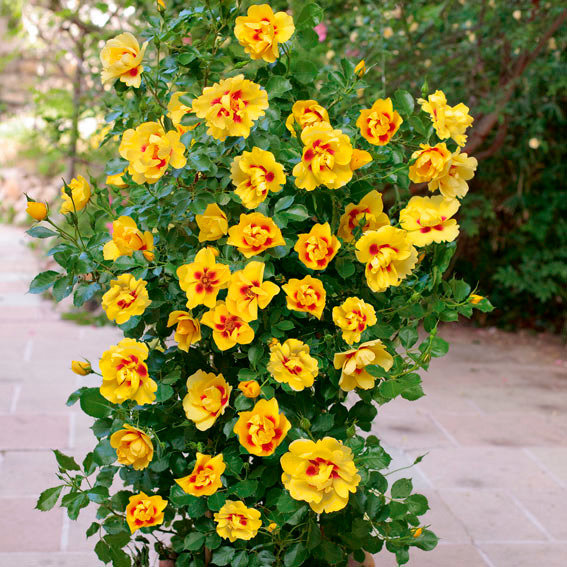 Rose Eyeconic®, im 3-Liter-Topf