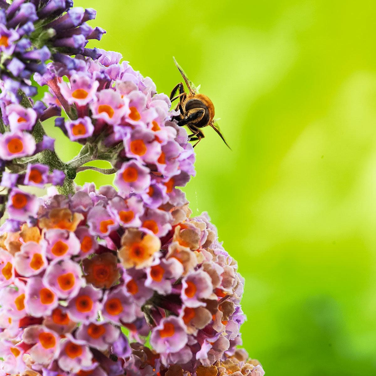Schmetterlingsflieder Flower Shower,  im ca. 17 cm-Topf