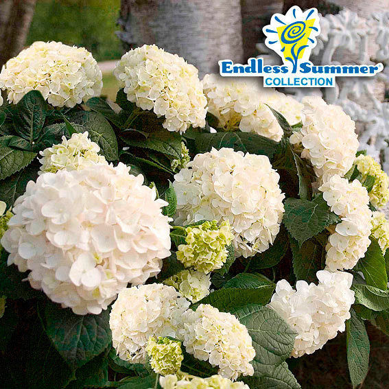 Garten-Hortensie Endless Summer® The Bride