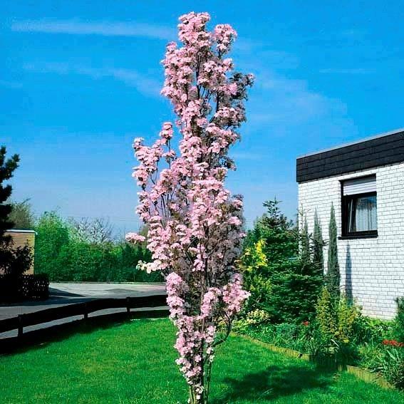Fabulous Japanische Säulenkirsche online kaufen bei Gärtner Pötschke PB85