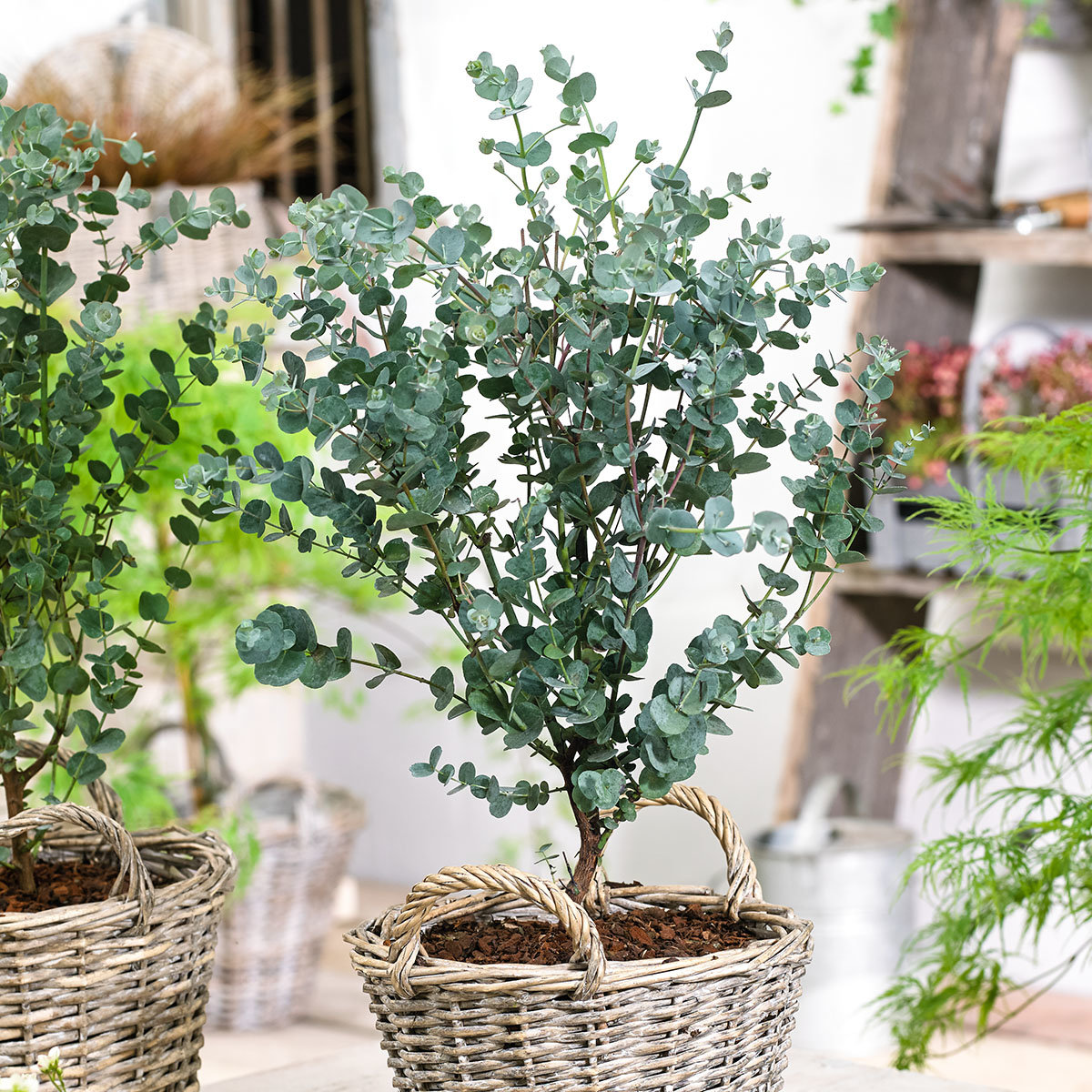 eis eukalyptus azura online kaufen bei g rtner p tschke. Black Bedroom Furniture Sets. Home Design Ideas