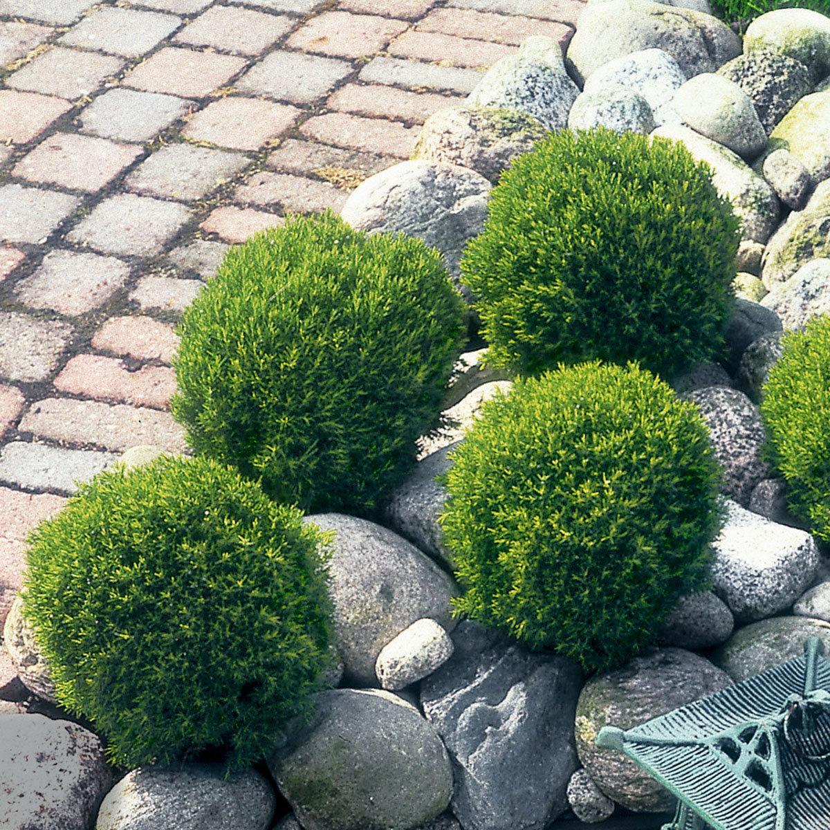 Streichellebensbaum Teddy, im ca. 17 cm-Topf