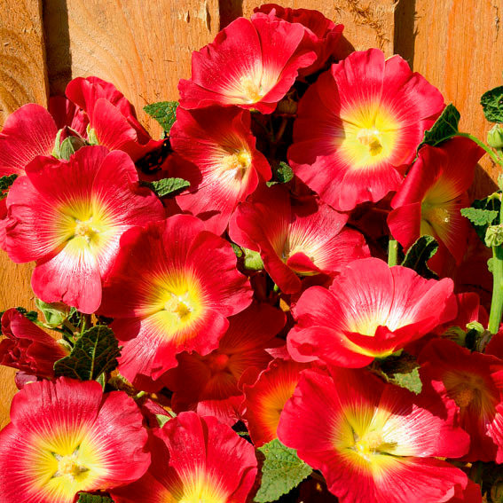 Regenbogen-Stockrose Halo Red