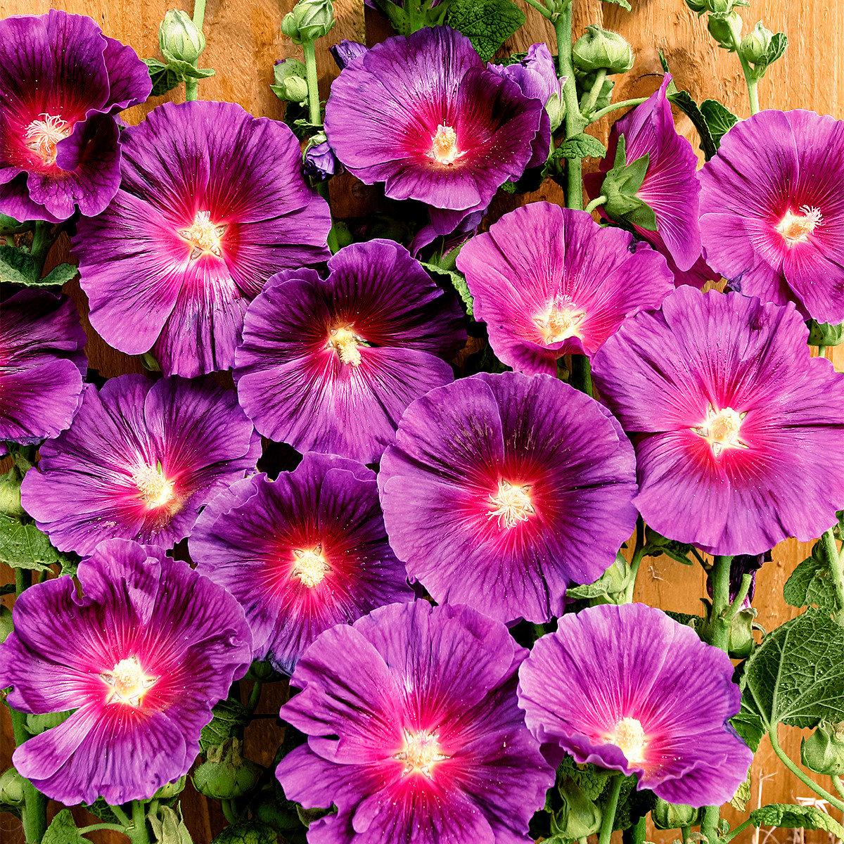Regenbogen-Stockrose Halo Lavender