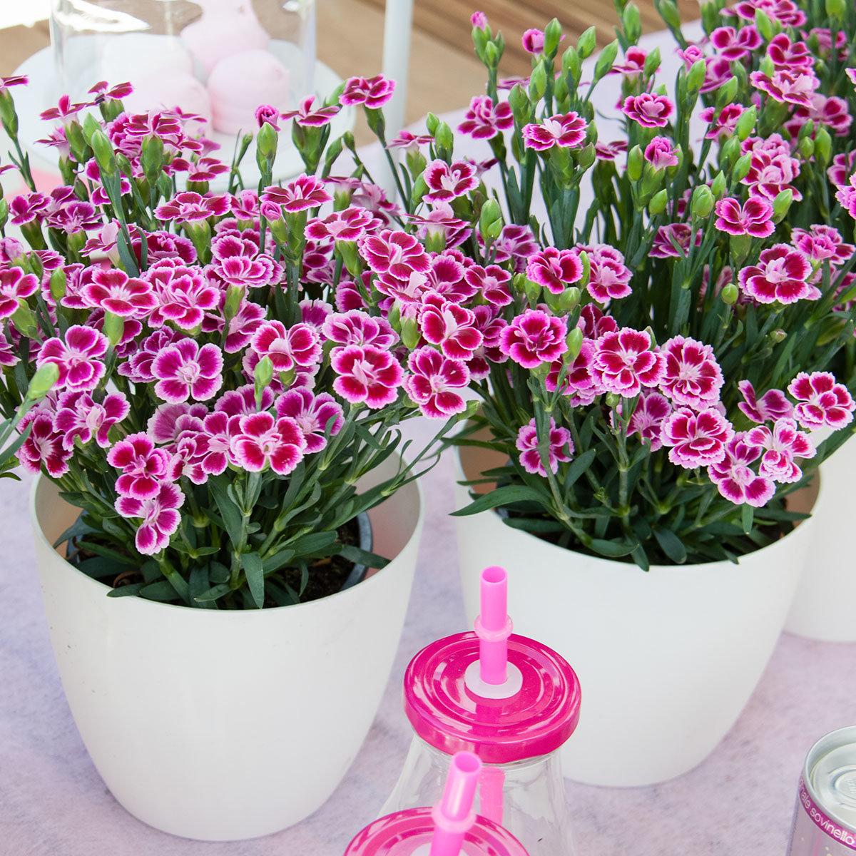 prinzess nelke pink kisses online kaufen bei g rtner p tschke. Black Bedroom Furniture Sets. Home Design Ideas