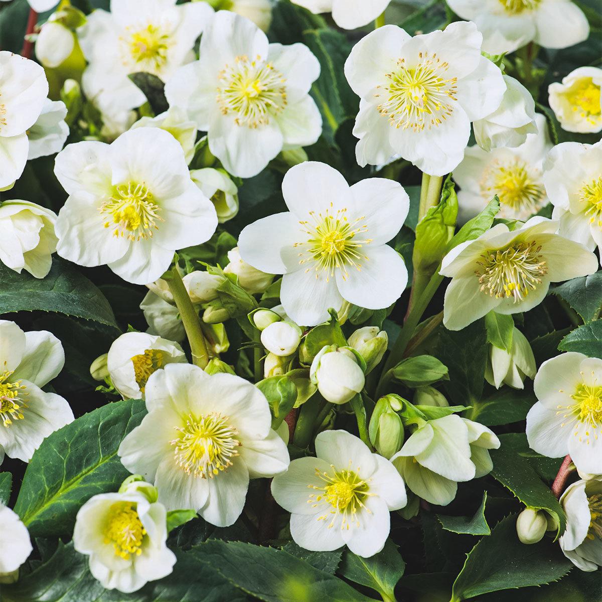 Weiße Christrose, im ca. 12 cm-Topf