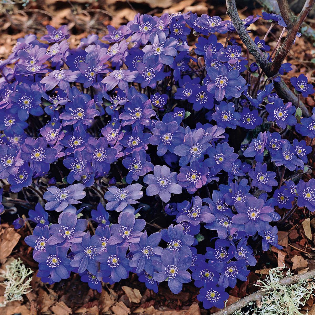 Leberblümchen Blue Jewel