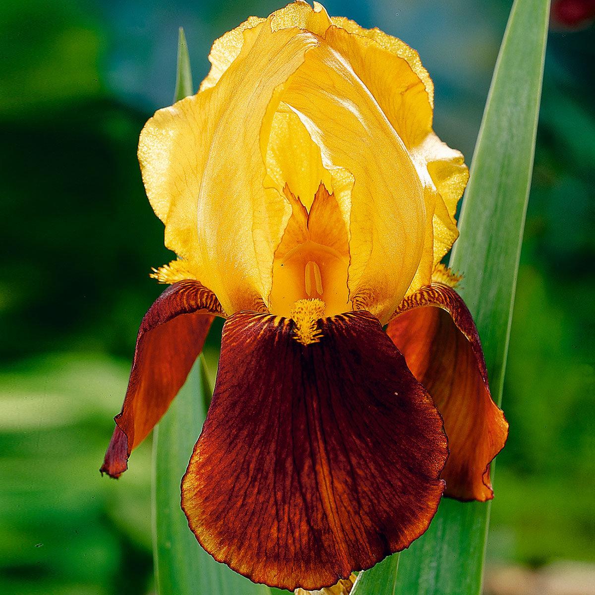 Iris Guy Luron, im ca. 11 cm-Topf