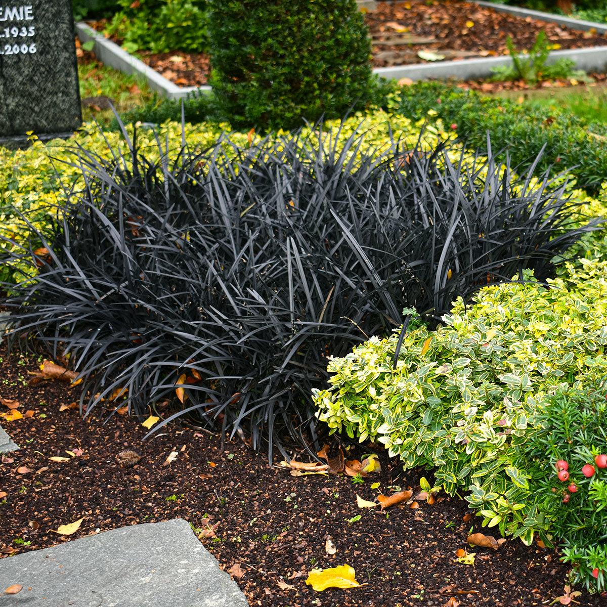 Schwarzer Schlangenbart, im ca. 9 cm-Topf