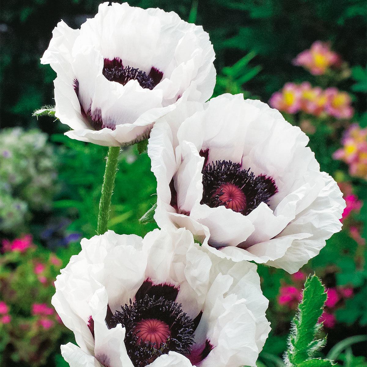 Gartenmohn Perry`s White, im ca. 9 cm-Topf