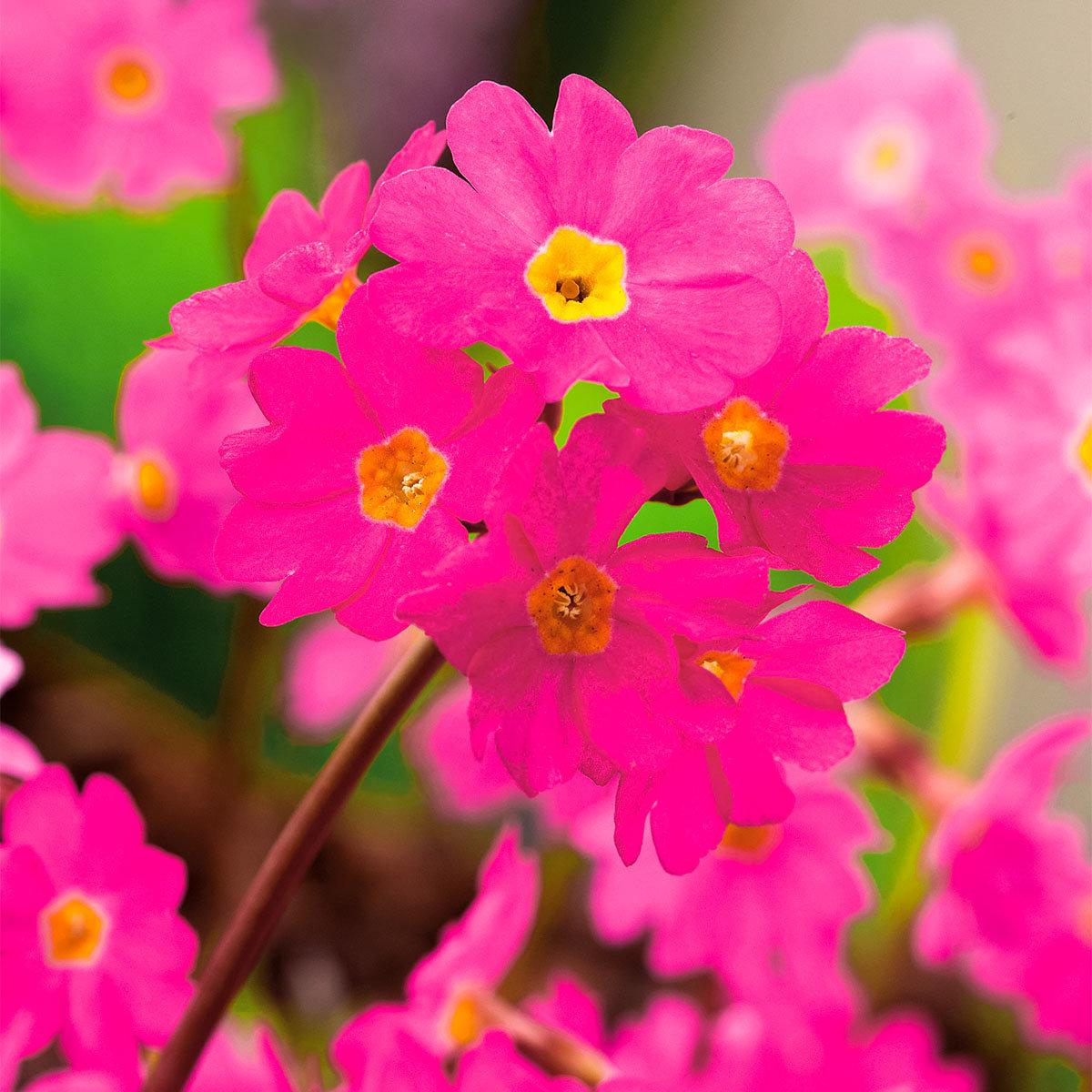 Rosenprimel, rosa, im ca. 9 cm-Topf