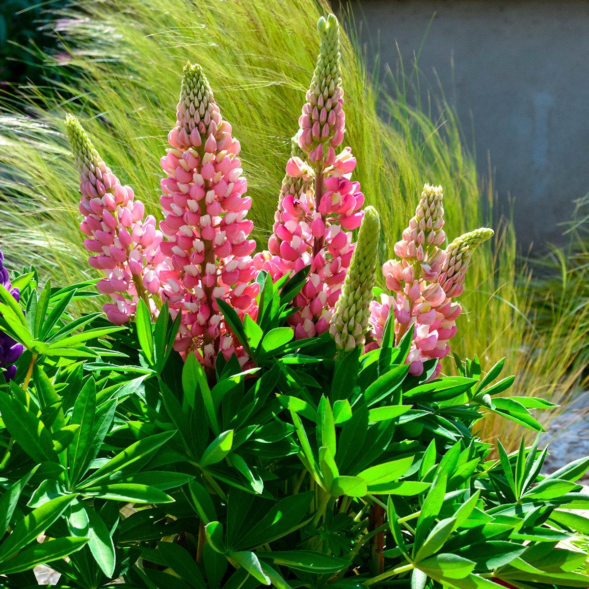 Staudenlupinensamen Mini-Gallery Bicolor Pink