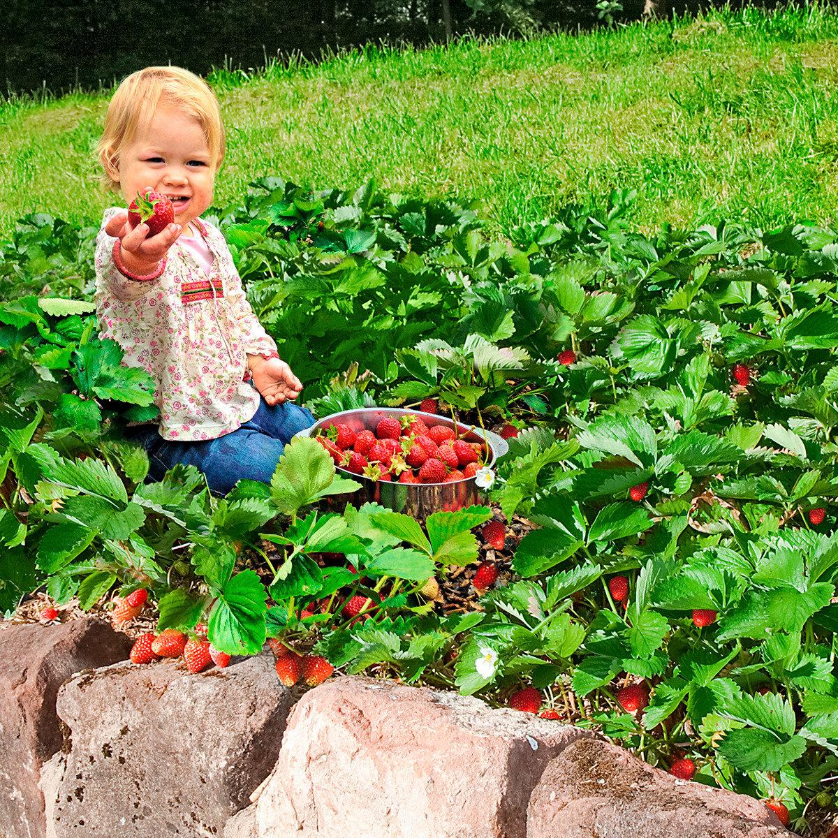 Erdbeerpflanze Gärtner Pötschkes Erdbeer-Naschwiese, getopft