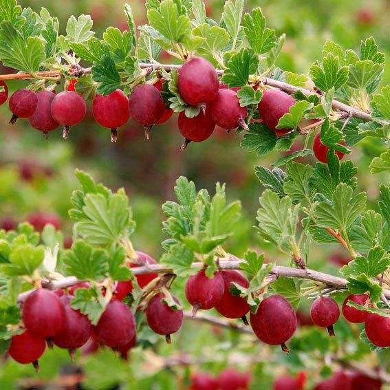 Stachelbeere Larell, Busch