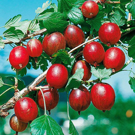 Stachelbeere Spinefree, Busch