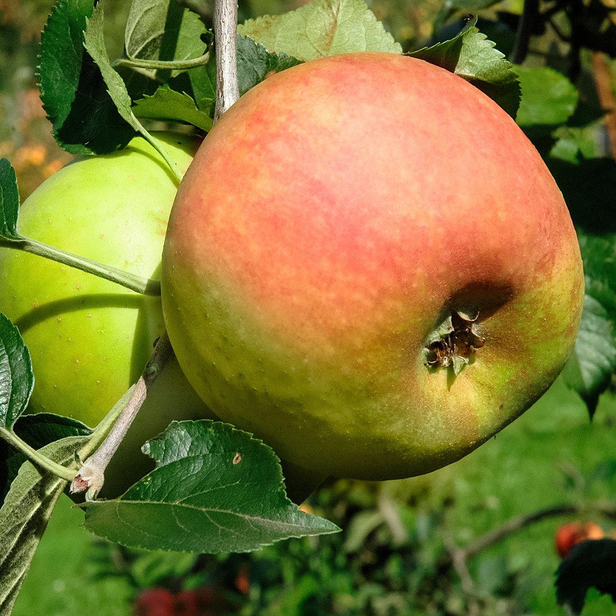 Apfel Goldrenette von Blenheim, 2-jährig