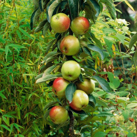 Säulen-Apfel Rhapsodie®