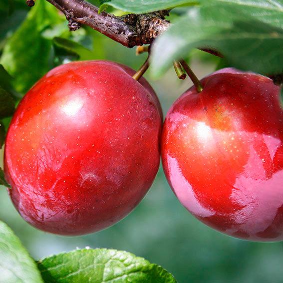 Gärtner Pötschkes Rote Melonen-Pflaume