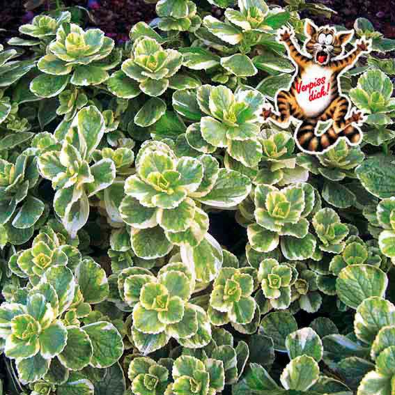 Bunte 'Verpiss-Dich' Pflanze