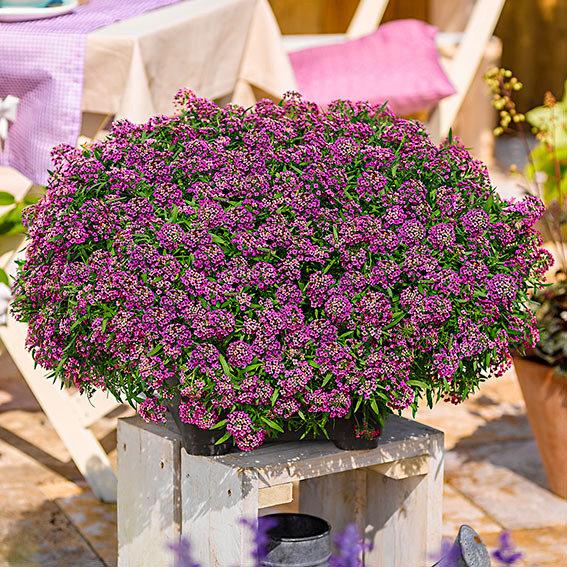 Duftsteinrich Lavender StreamTM
