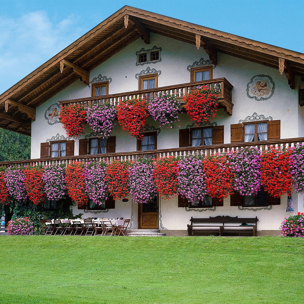 Sommerblumen-Set Hänge-Geranien, 6 Stück, im ca. 12 cm-Topf