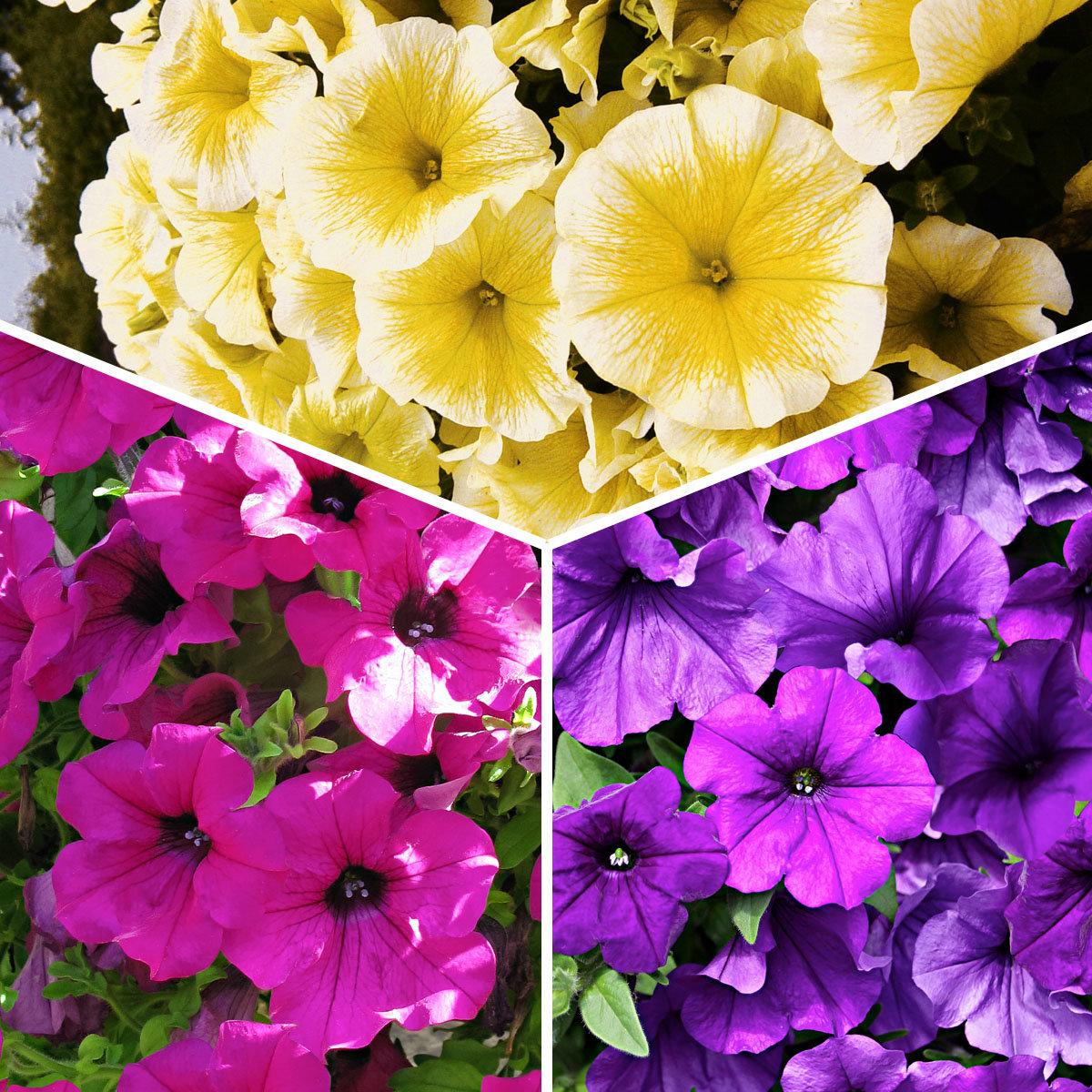 Sommerblumen-Sortiment Petunien