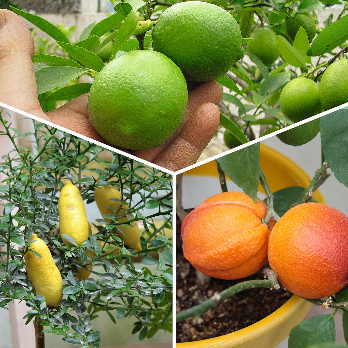Sommerblumen-Sortiment Exquisite Citrus