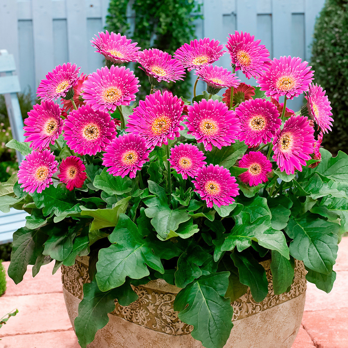 Balkon-Gerbera Garvinea® Sweet Surprise®, rosapink