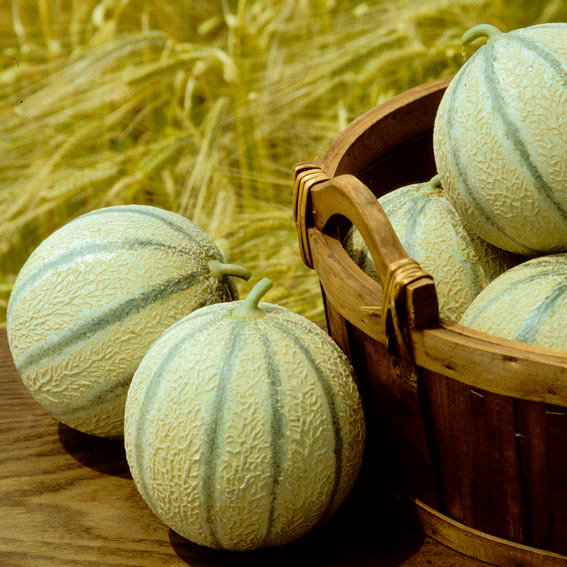 Zuckermelonenpflanze Stellio F1, veredelt
