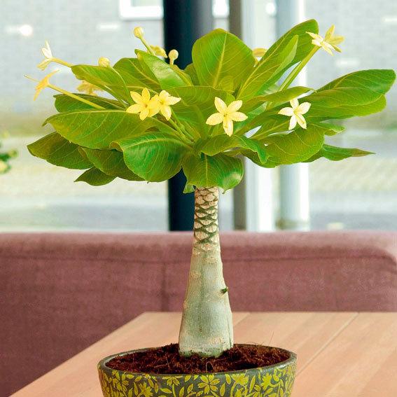 Gemeinsame Hawaii-Palme online kaufen bei Gärtner Pötschke @WZ_39