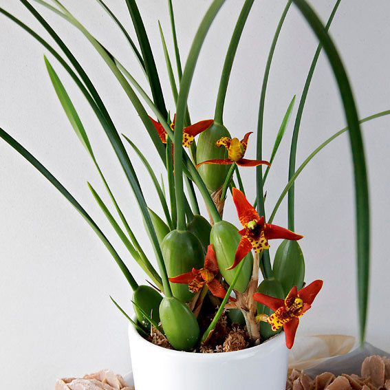 Sonnencreme-Orchidee