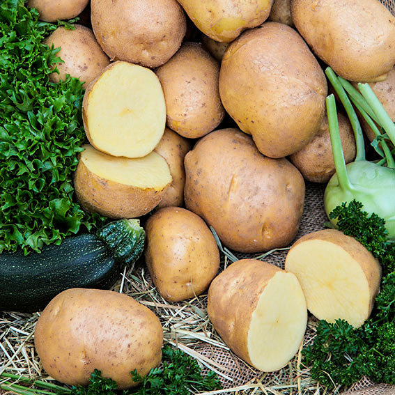 Kartoffel Agria, 2,5 kg
