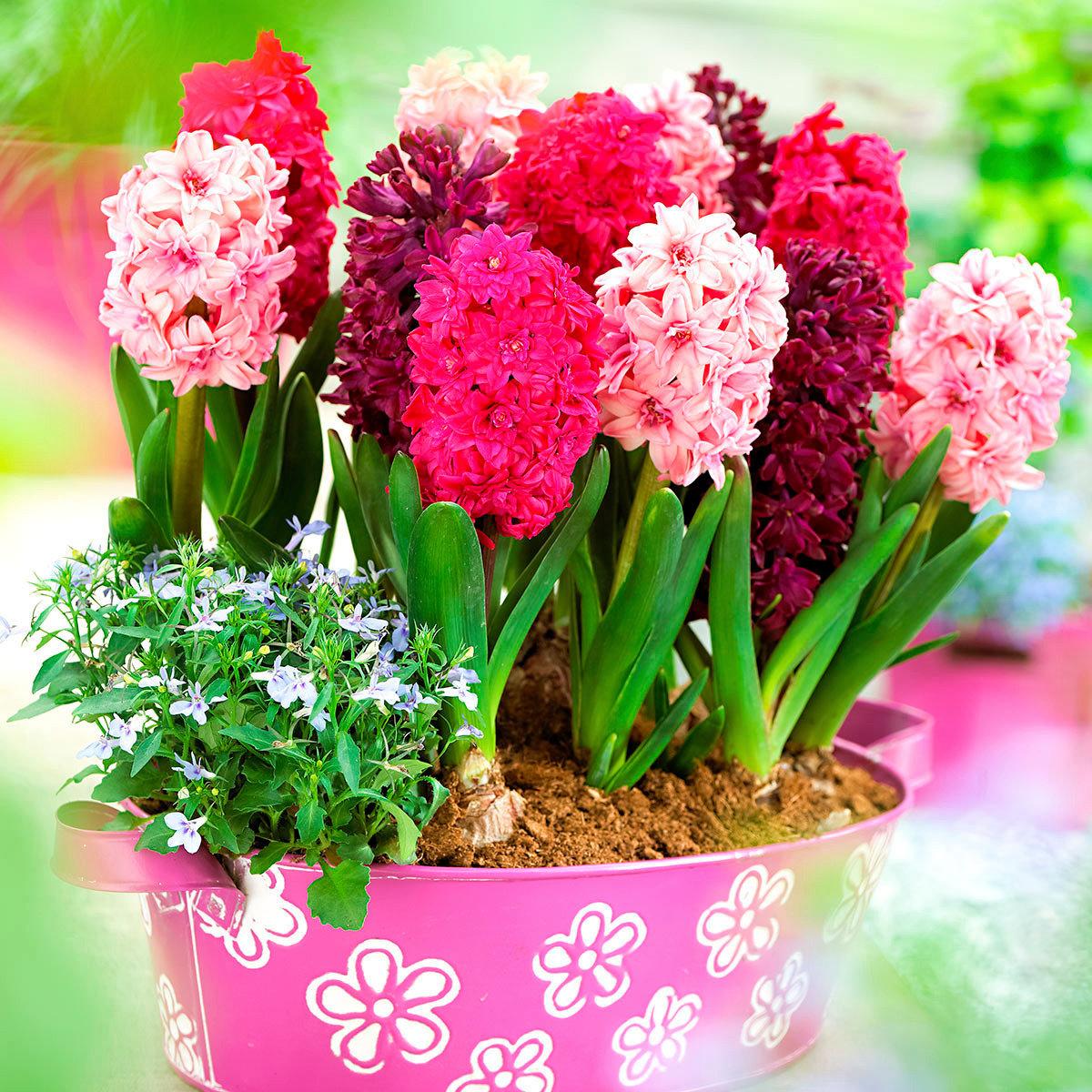 Gartenhyazinthen Pink Dream-Mischung, gefüllt
