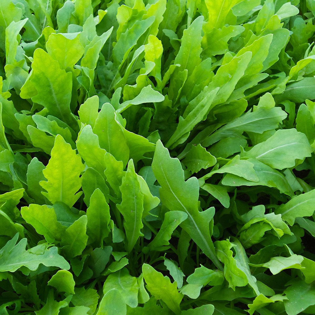 Saatgut-Holzbox Salatvielfalt, 7 Saatgut-Sorten | #10