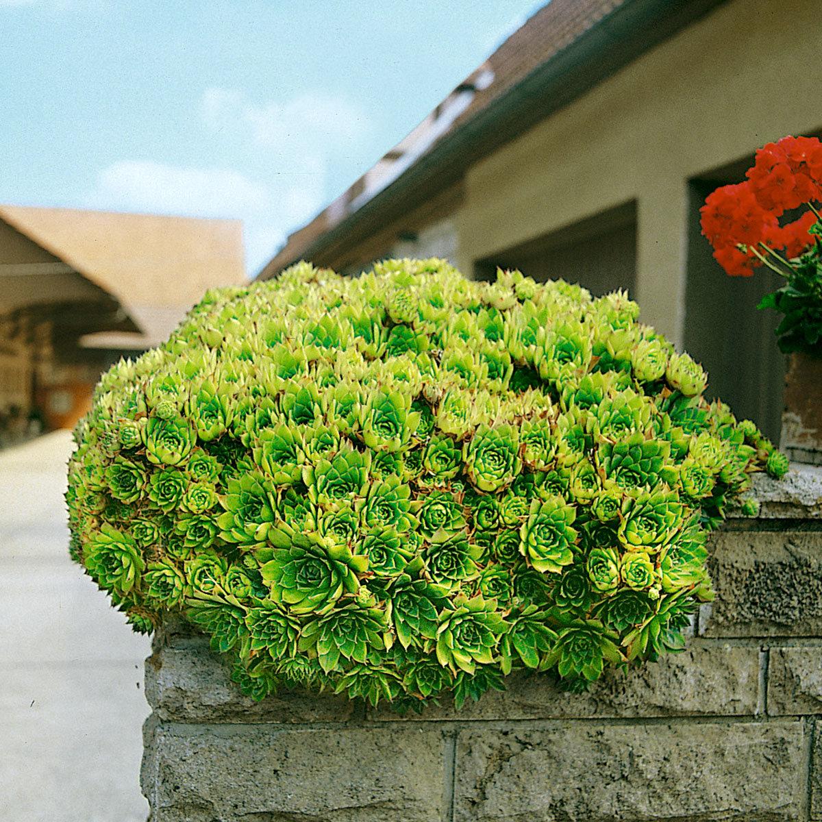 Hauswurz, grün, im ca. 9 cm-Topf   #2