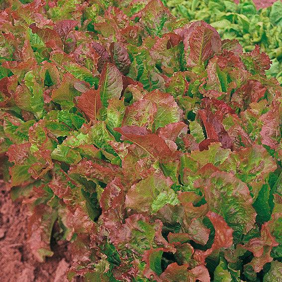 Salatsamen amerikanischer brauner Pflücksalat | #2