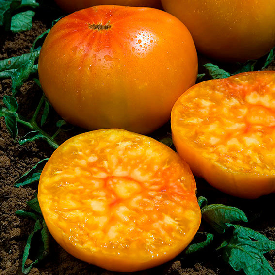 Tomatenpflanze Ananas, im ca. 12 cm-Topf | #2