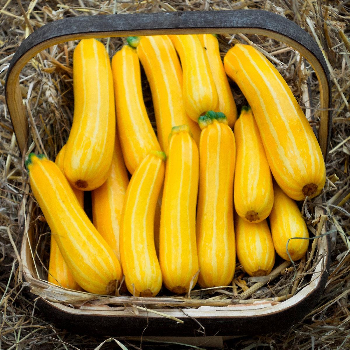 Zucchinisamen Sunstripe F1 | #2
