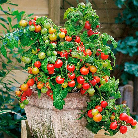 Mini-Jungpflanze Tomate Lizzano F1, veredelt | #2