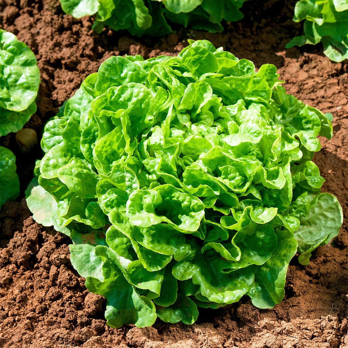Salatsamen Eichblatt- und Pflücksalat Kyrio | #2