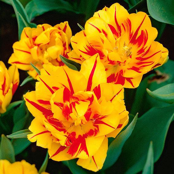 Tulpe Monsella | #2