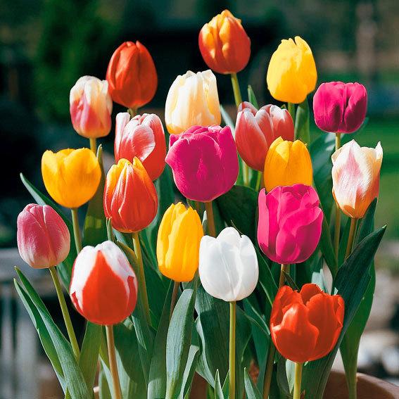 Blumen Schnittblumen Gr/ö/ße 11//12 Florado 10x Triumph-Tulpe Blumenzwiebeln Sherwood Gardens Garten Bienen Insekten Hummeln Tulpen Zwiebelblumen