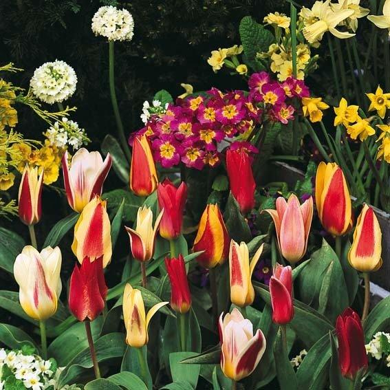 Sortiment Bunte Blumenkasten-Tulpen | #2