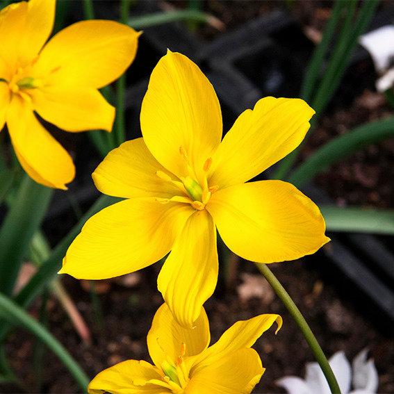 Tulpe Sylvestris | #2