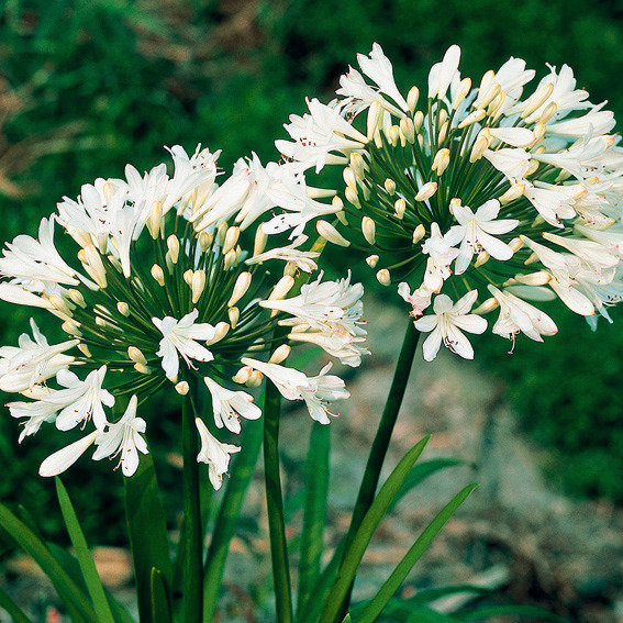 Schmucklilie, Afrikanische Lilie, weiß | #2