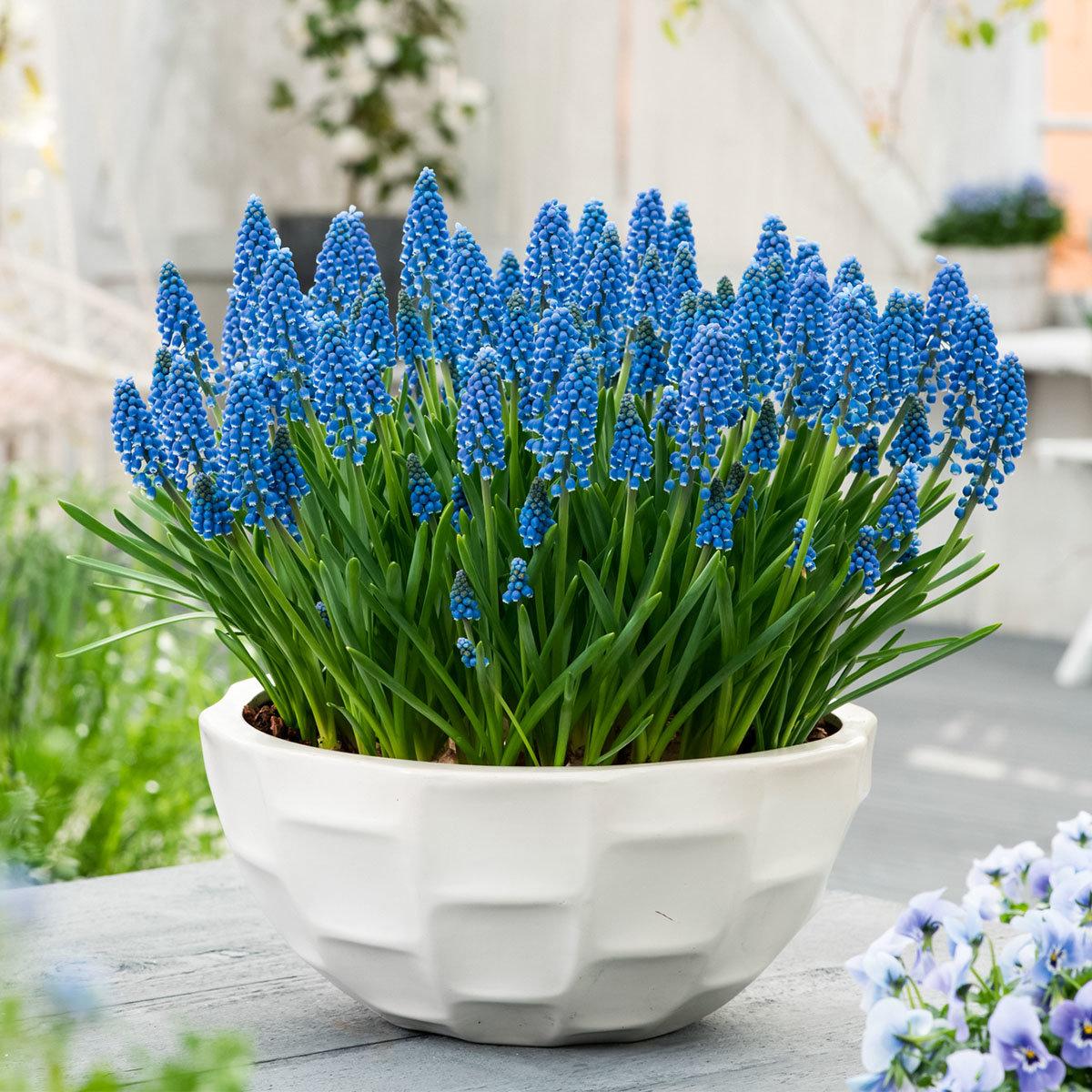 Traubenhyazinthe, blau   #2