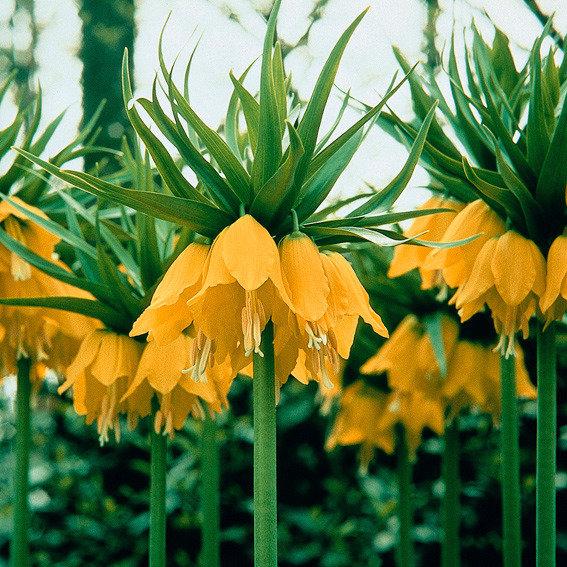 Kaiserkrone Lutea, gelb | #2