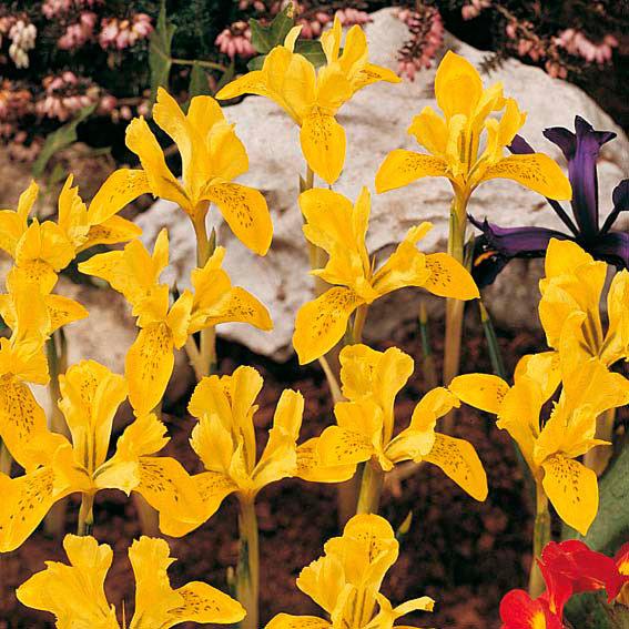 Vorfrühlings-Iris | #2