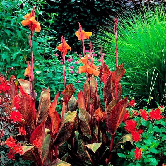 Riesen-Canna Tropicanna (Indisches Blumenrohr) | #2